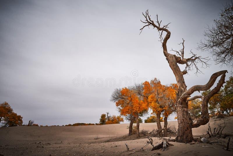 Gli alberi di pioppo tenace si sviluppano in deserto fotografia stock