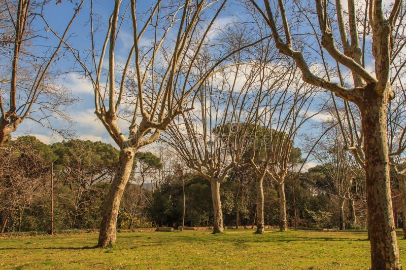 Gli alberi fieri con le armi lunghe immagini stock