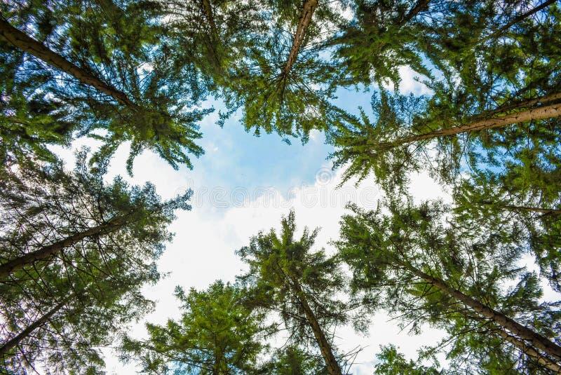 Gli alberi forestali erba i tronchi di albero del percorso dei pini fotografie stock