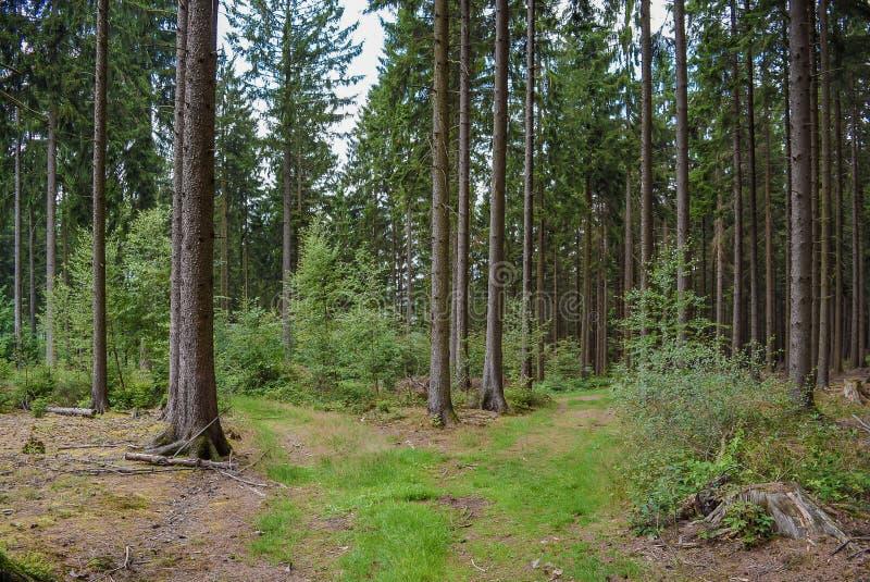 Gli alberi forestali erba i tronchi di albero del percorso dei pini immagini stock libere da diritti