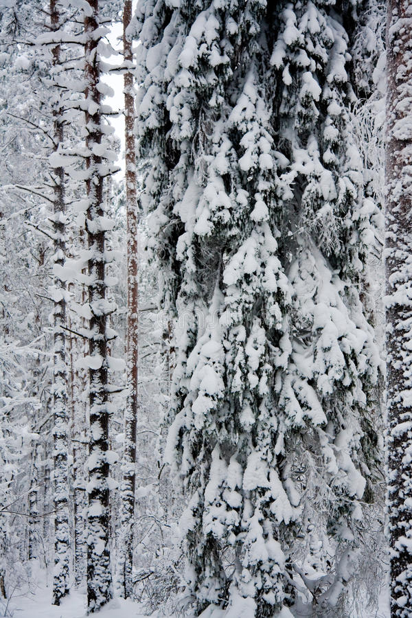 Gli alberi hanno coperto la neve immagine stock libera da diritti