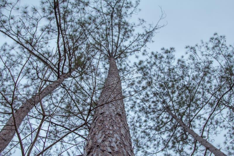 Gli alberi nebbiosi in un albero forestale completa la struttura fotografia stock libera da diritti