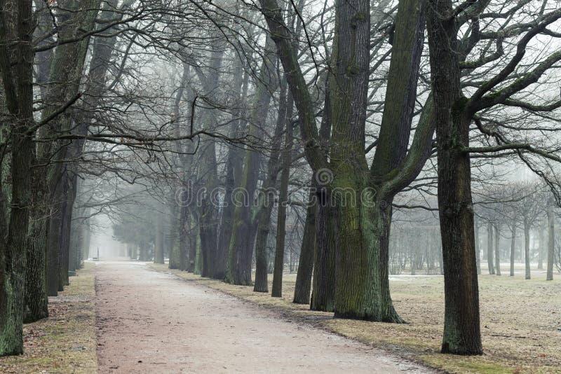 Gli alberi nudi coltivano nelle file lungo la strada del parco in nebbia immagini stock