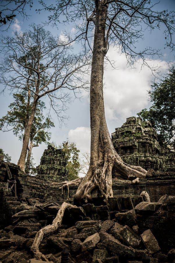 Gli alberi pianta la crescita sopra Angkor Wat Ruins, Cambogia, Asia. Tradizione, cultura e religione. fotografia stock libera da diritti