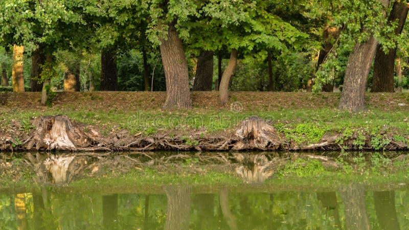 Gli alberi si sviluppano in un parco vicino allo stagno immagini stock