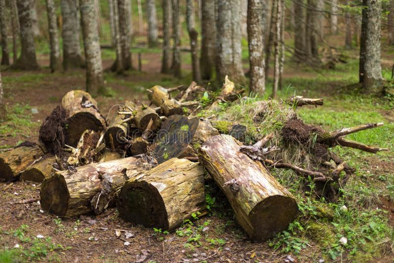 Gli alberi sono tagliati nella foresta, nel disboscamento e nel concetto di riscaldamento globale, un problema ambientale immagine stock libera da diritti