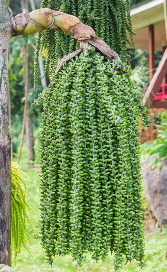 Gli alberi verdi della natura con la palma dell'uva fiorisce e fruttifica Caryota delicatamente fotografia stock libera da diritti