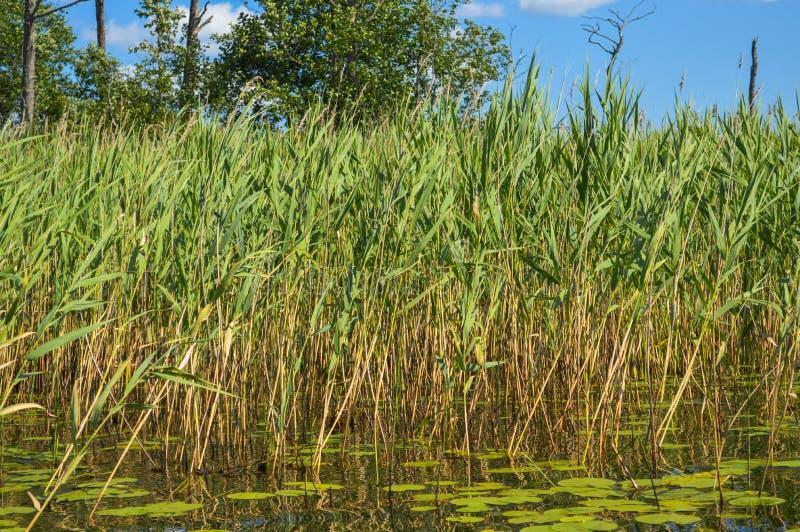 Gli alti bei cespugli naturali verdi acquatici delle piante erba le canne contro il contesto della sponda del fiume e del cielo b fotografie stock