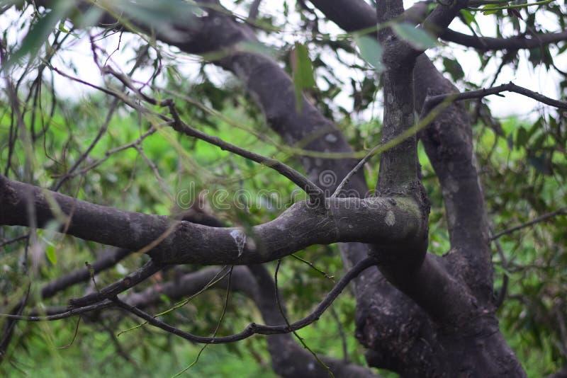 Gli ambiti di provenienza dell'albero si inverdiscono la stagione delle pioggie immagine stock
