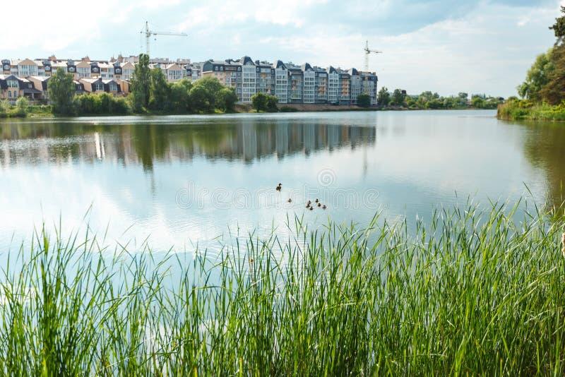 Gli anatroccoli svegli duck i bambini dopo la madre in una coda, lago immagine stock libera da diritti