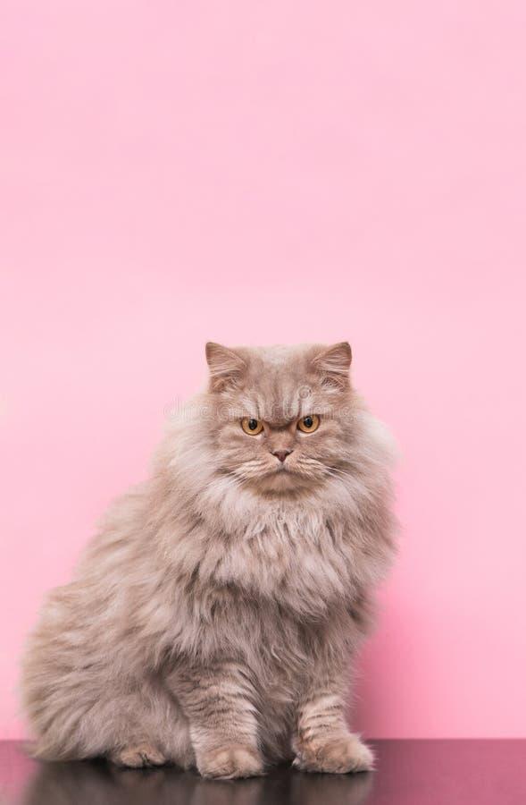 Gli animali domestici, gatto adulto grigio lanuginoso si siede su un fondo rosa e esamina la macchina fotografica fotografia stock libera da diritti