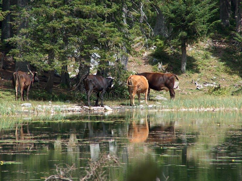 Gli animali si avvicinano al lago immagine stock libera da diritti