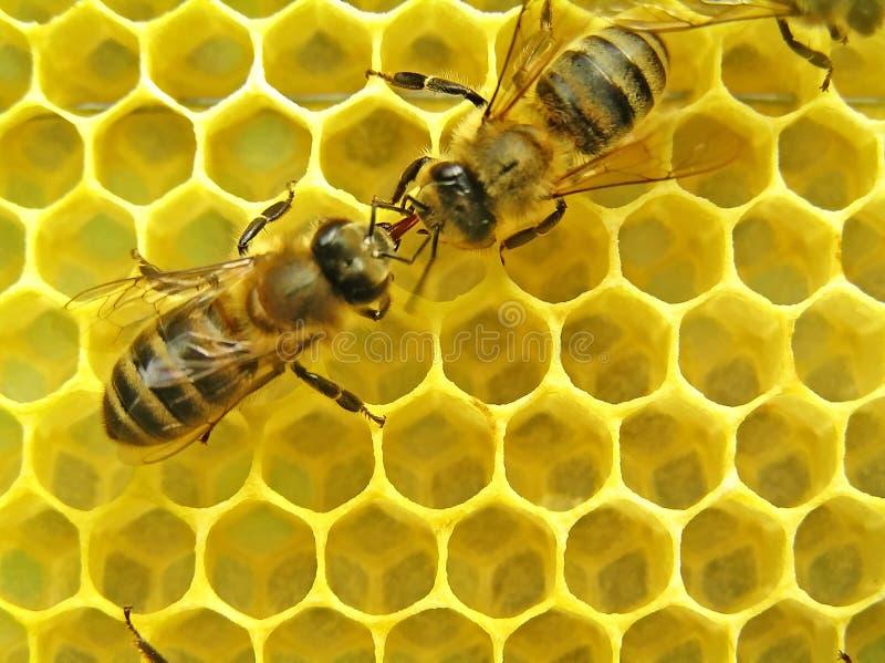 Gli api comunicano. fotografia stock libera da diritti