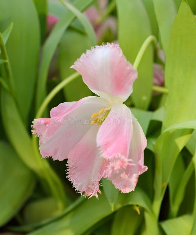 Gli arricciamenti operati del Tulipa hanno guarnito il tulipano di frange immagine stock