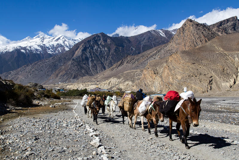 Gli asini dei bagagli sul Annapurna girano intorno a, il Nepal fotografia stock libera da diritti