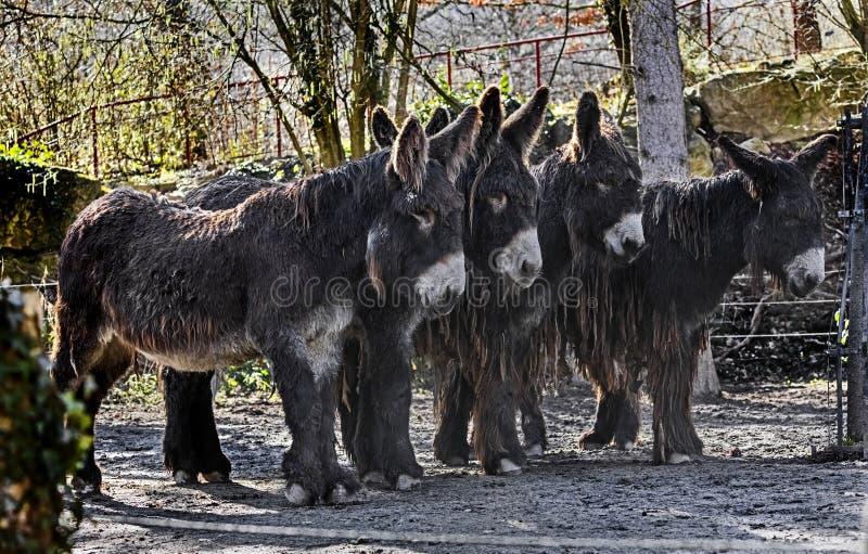 Gli asini di Poitou immagini stock libere da diritti