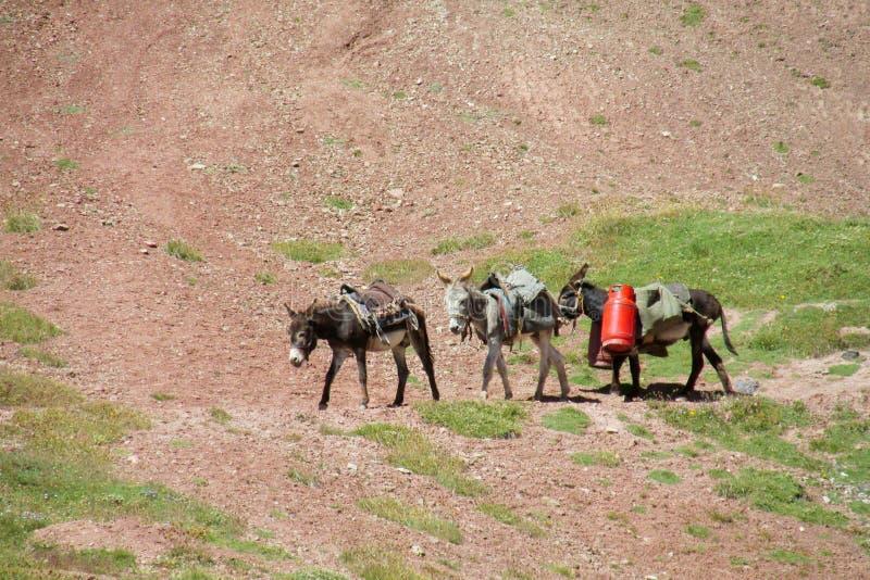 Gli asini domestici con i seddles camminano sul percorso della montagna fotografie stock libere da diritti