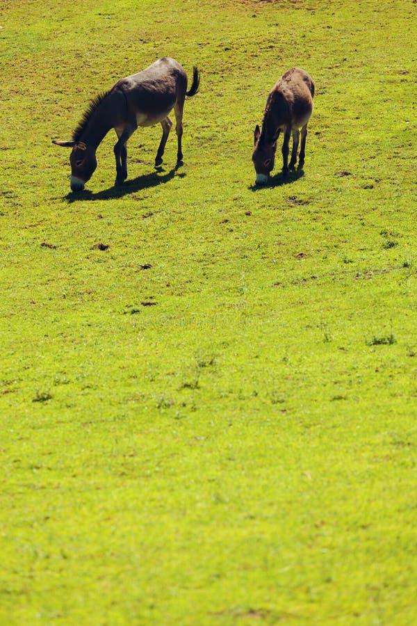 Gli asini liberano il pascolo fotografia stock