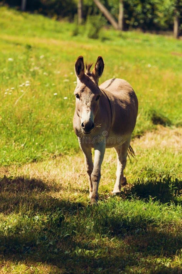 Gli asini liberano il pascolo fotografia stock libera da diritti