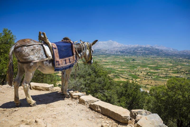 Gli asini nelle montagne vicino allo Psychro franano Creta, Grecia fotografie stock
