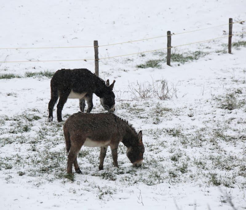 Gli asini pascono l'erba ghiacciata nell'inverno con neve fotografie stock libere da diritti