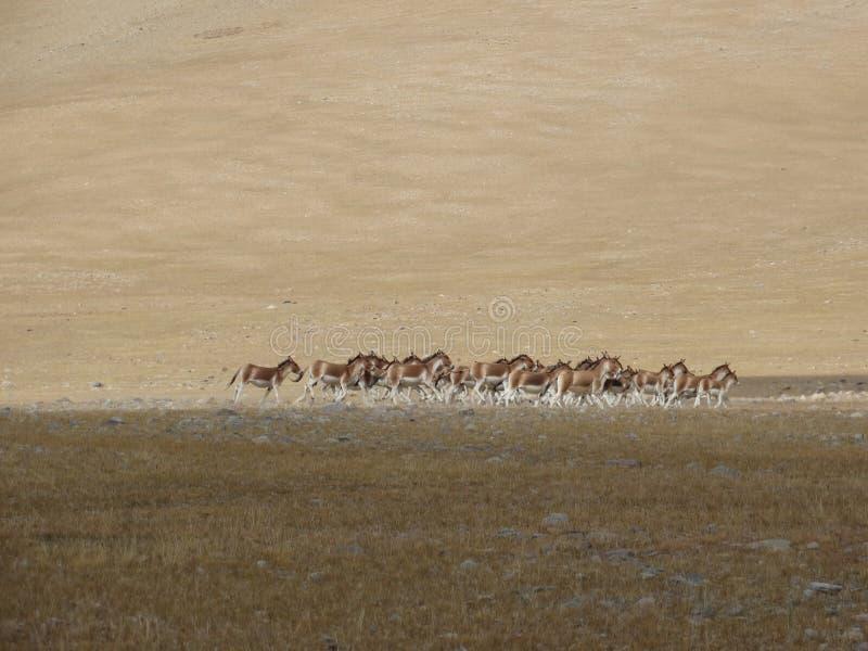 Gli asini selvaggi hanno inseguito da un amico di giro nel Tibet immagini stock libere da diritti