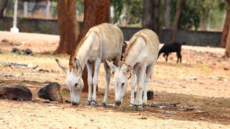 Gli asini stanno cercando la terra alimento immagini stock libere da diritti