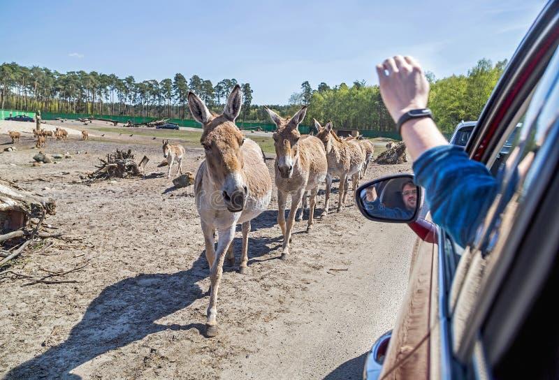 Gli asini vicino all'automobile in Serengeti parcheggiano, la Germania Zoo, fauna selvatica fotografia stock