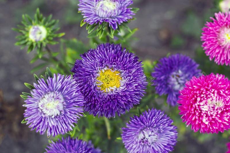 Gli aster viola e rosa fiorisce nella cima del giardino, fuoco selettivo fotografia stock libera da diritti