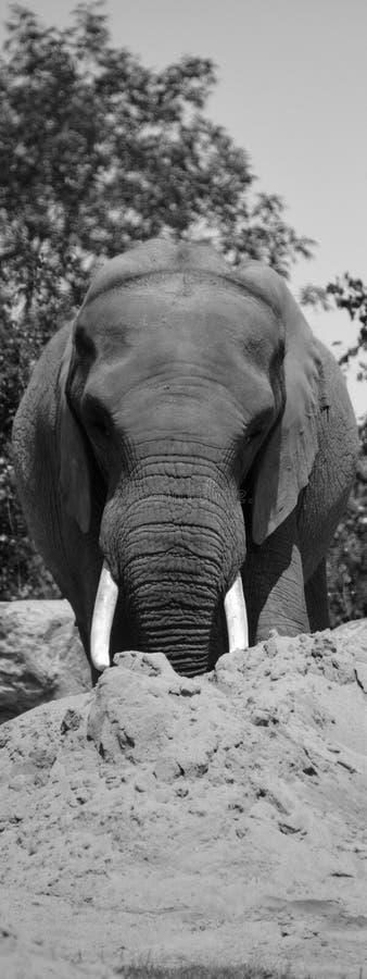 Gli elefanti africani sono elefanti del genere Loxodonta fotografia stock libera da diritti