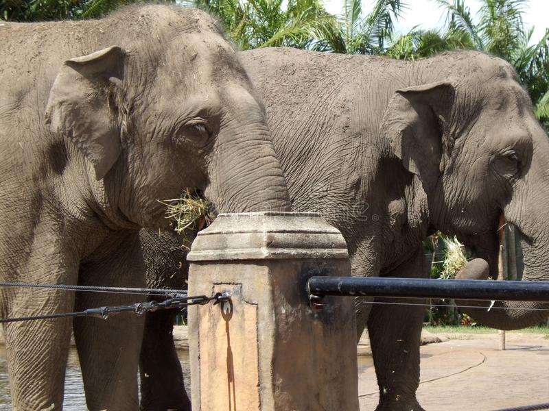 Gli elefanti si chiudono in su immagini stock