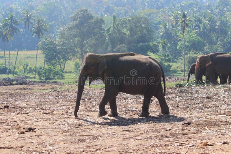 Gli elefanti sulla passeggiata fotografia stock libera da diritti