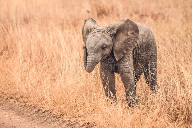 Gli elefanti svegli del bambino dell'Africa immagine stock