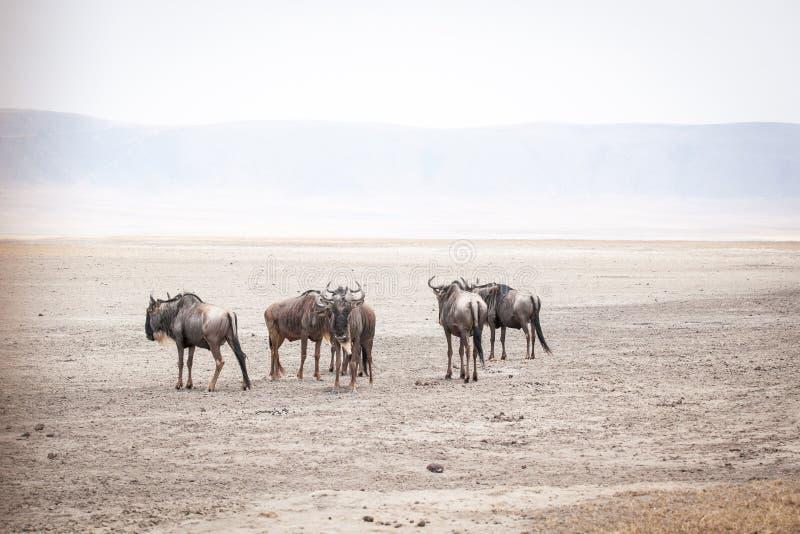 Gli gnu, inoltre hanno chiamato le antilopi dello gnu Connochaetes fotografia stock