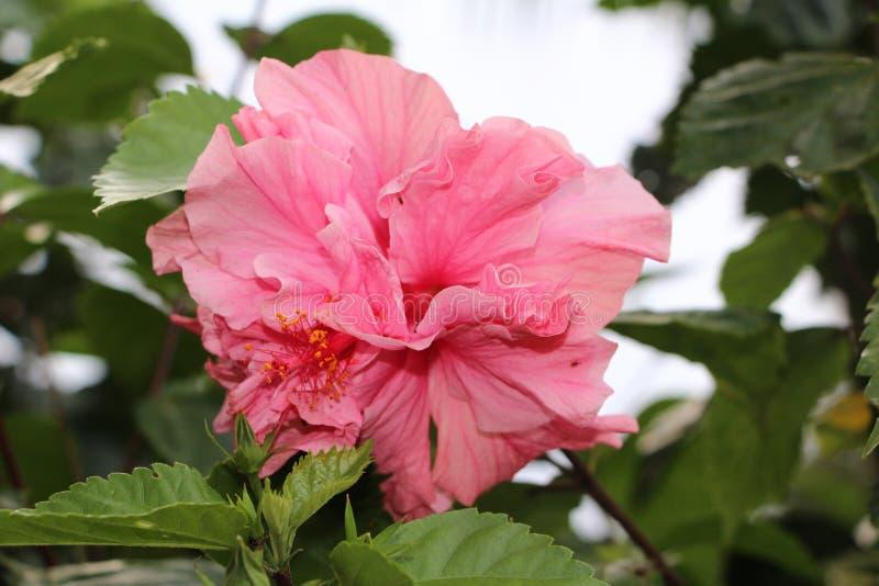 Gli ibischi rosa fioriscono - i fiori di Matagalpa Nicaragua immagine stock libera da diritti