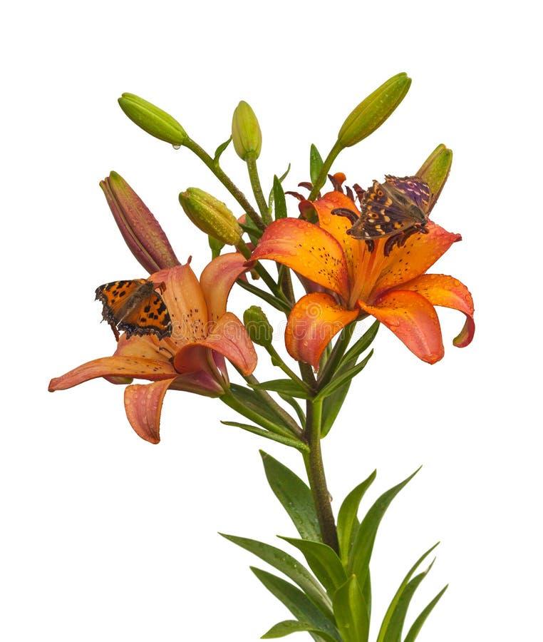 Gli ibridi di Lily Asian con le gocce dell'acqua e della farfalla hanno isolato la o immagine stock