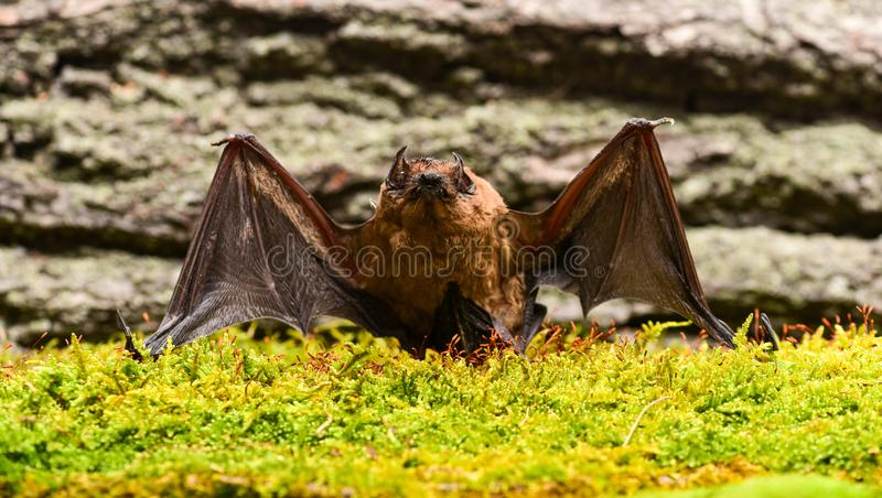 Gli occhi battono piccolo di specie sviluppato male Rivelatore del pipistrello Manichino del fondo di legno del pipistrello Pipis fotografia stock