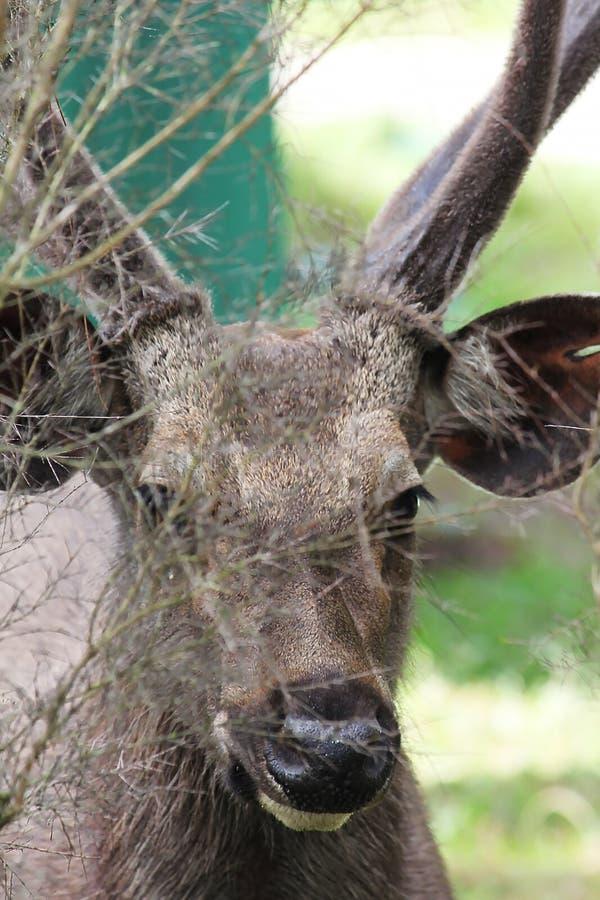 Gli occhi dei cervi stanno cercando qualcosa fotografia stock