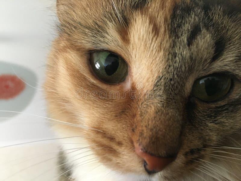 Gli occhi del gatto fotografie stock libere da diritti
