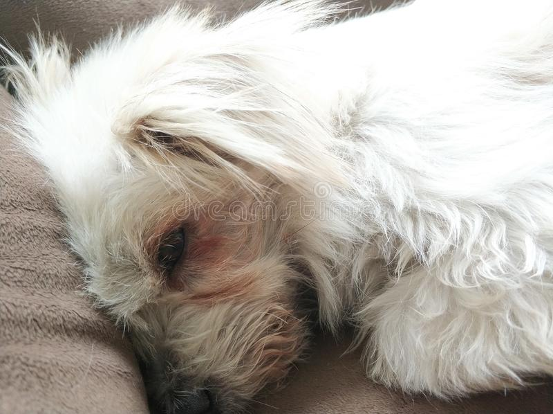 Gli occhi del ` s del cane fotografie stock