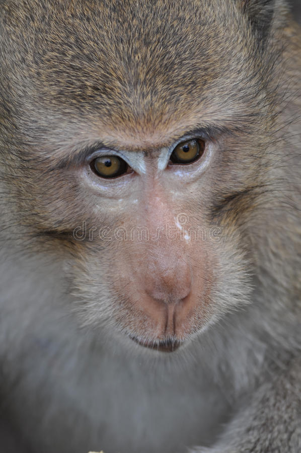 Gli occhi della scimmia immagine stock libera da diritti