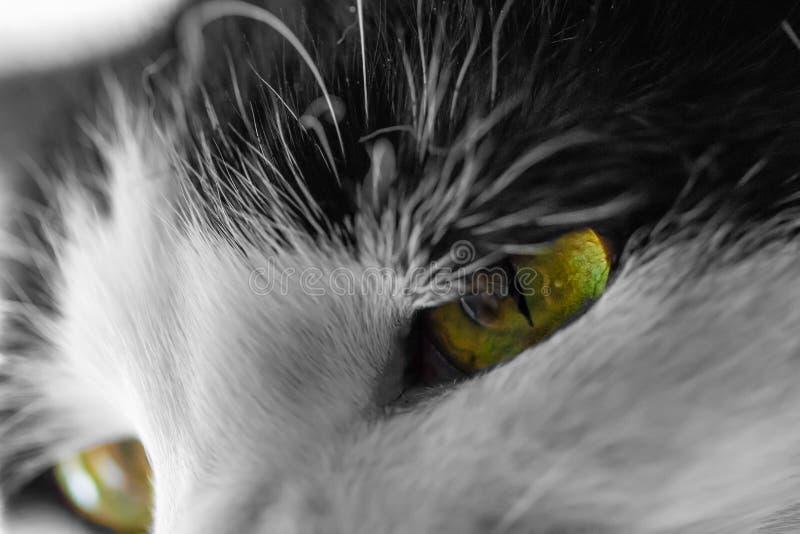 Gli occhi di gatti svegli della Camera si chiudono su immagine stock libera da diritti