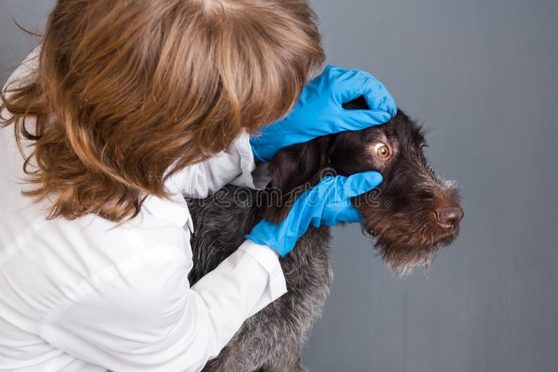 Gli occhi di ispezione del veterinario del cane fotografia stock libera da diritti