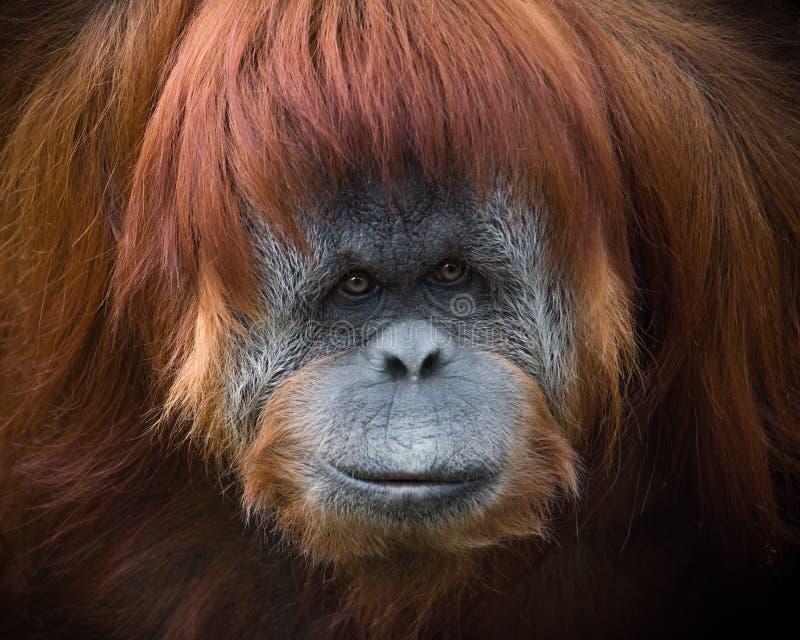 Gli occhi intensi dell'orangutan di Sumatran fotografie stock libere da diritti