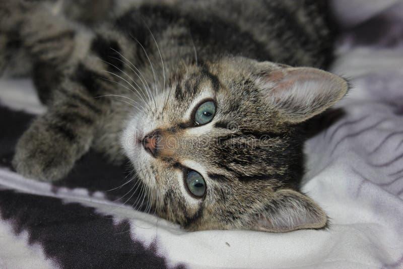 Gli occhi verdi hanno barrato Tabby Kitten Face Feline Features immagine stock