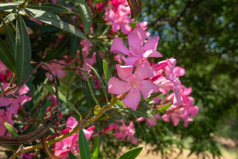 Gli oleandri rosa è dalla riva vicino al mare Il concetto di turismo e di ricreazione Fondo fotografia stock