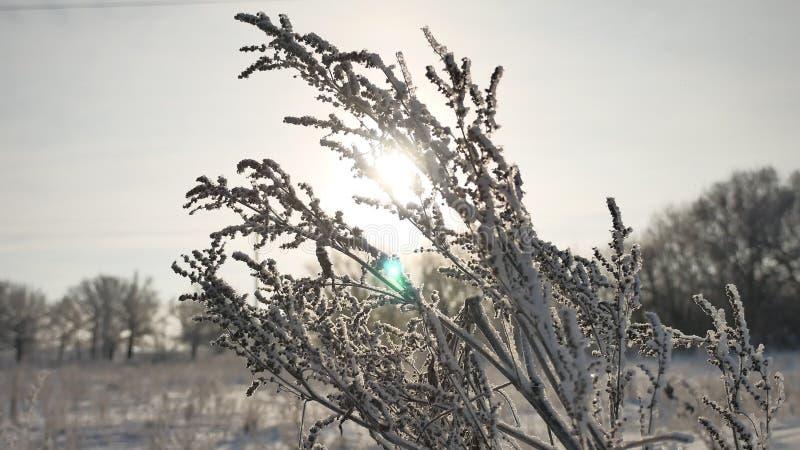 Gli ondeggiamenti congelati dell'erba nel vento sole della natura di cadute della neve di luce solare dell'inverno nel bello abba immagine stock