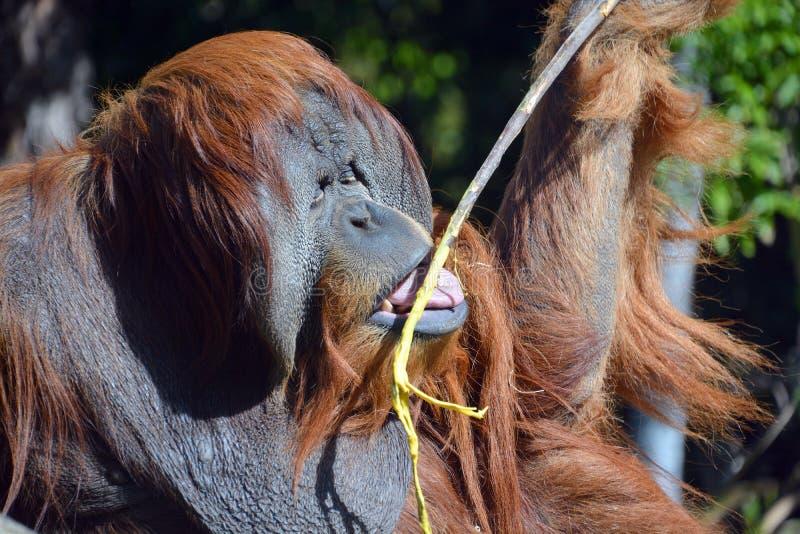 Gli orangutan immagine stock