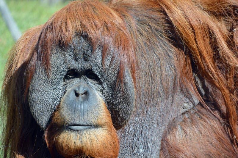 Gli orangutan immagini stock libere da diritti