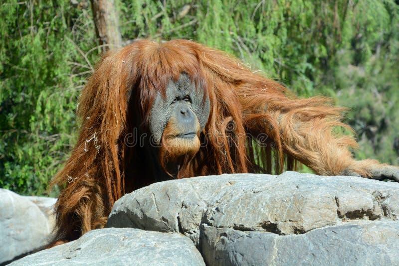 Gli orangutan immagine stock libera da diritti